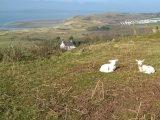 Lambs at Broughton
